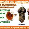 ¿CÓMO FUNCIONA EL GANODERMA LUCIDUM?